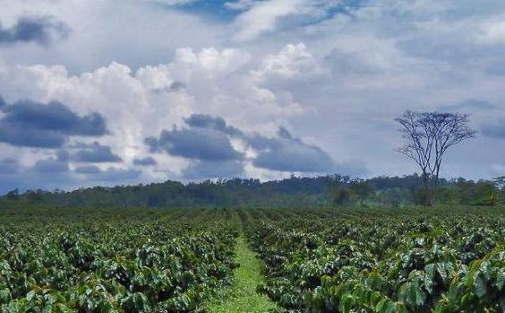 photo of coffee fields